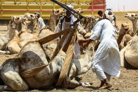 수단의 한 낙타시장에서 주민들이 지난 10일(현지시간) 흥정이 끝난 낙타를 차에 싣기 위해 밧줄로 몸을 묶고 있다. [AFP=연합뉴스]