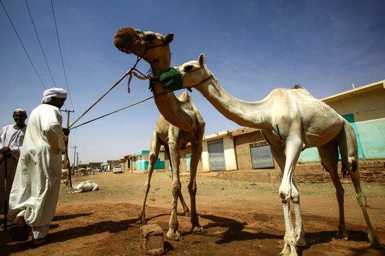 수단 옴두르만의 한 시장에서 지난 10일(현지시간) 낙타를 팔기 위해 대기하고 있다. [AFP=연합뉴스]