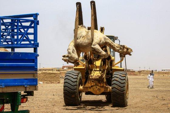 수단의 한 낙타시장에서 흥정이 끝난 낙타를 트럭에 옮겨 싣고 있다. [AFP=연합뉴스]