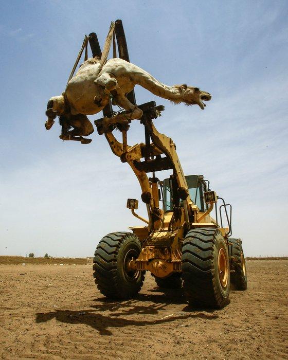 수단의 한 낙타시장에서 크레인이 흥정이 끝난 낙타를 트럭에 싣고 있다. [AFP=연합뉴스]