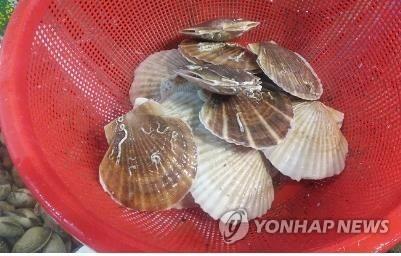 일본산 가리비 [연합뉴스 자료 사진]  기사 내용과 직접 관련 없는 참고용 자료 사진임.