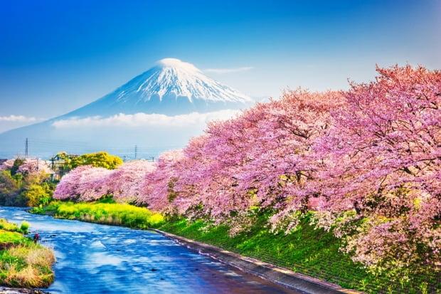 일본 여행 상품을 대표하는 '후지산' 그리고 벚꽃(사쿠라)의 이미지. 사진=게티이미지 뱅크