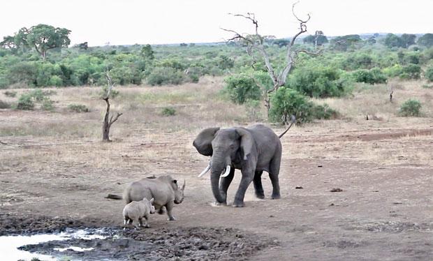 남아프리카공화국 크루거국립공원에서 어미 코뿔소가 새끼를 지키기 위해 온몸을 내던졌다./사진=크리슈나 툼말라팔리 인스타그램