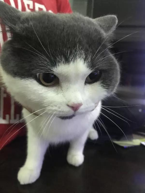 기존 고양이 '마늘'. 복제 고양이와 달리 턱 밑에 검은 점이 있다. /사진=시노진 홈페이지.