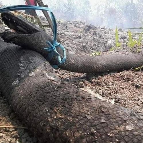 인니 칼리만탄 산불 현장서 발견된 초대형 뱀 [Garda Satwa Foundation 페이스북]