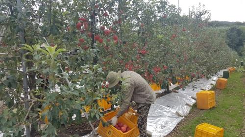 사과 수확하는 외국인 노동자 촬영 : 김동철 기자