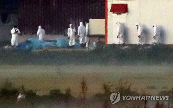 24일 오전 아프리카돼지열병(ASF)이 확진된 경기도 김포시 통진읍 한 양돈농장에서 방역당국 관계자들이 돼지들을 살처분하고 있다. 연합뉴스