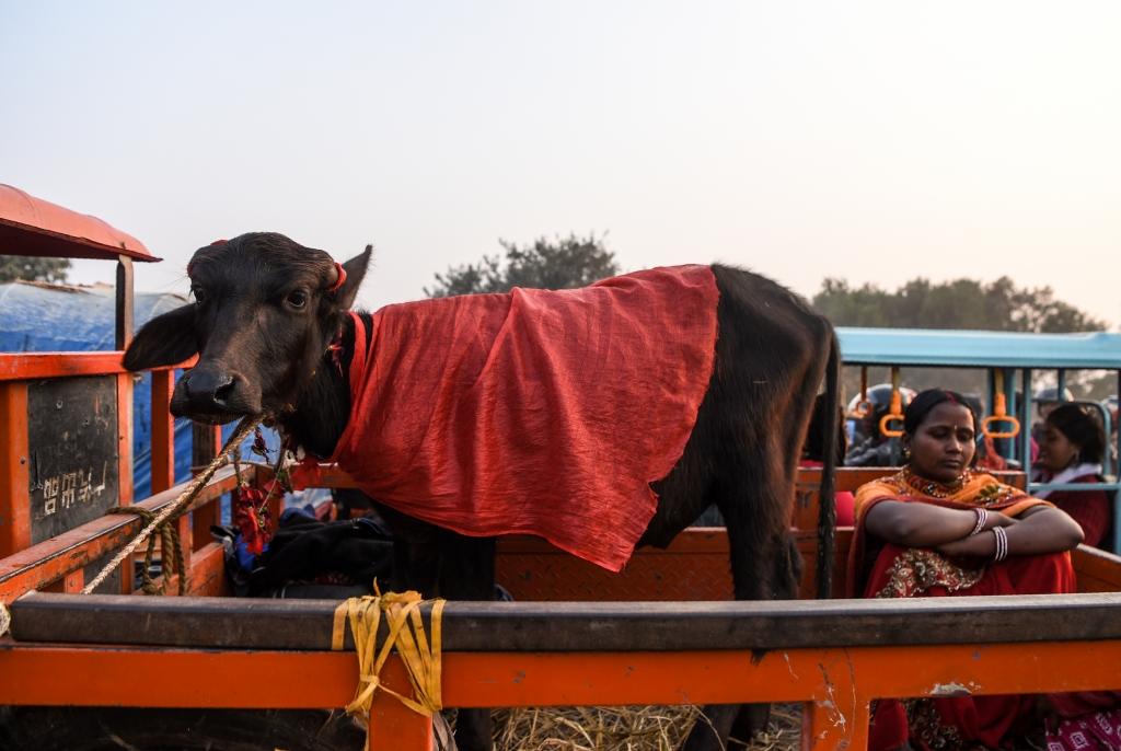 '동물 살육 금지령' 비웃듯 네팔 힌두교 축제 다시 열린다[타임 토토|갭 토토]