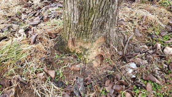 배나무 뿌리에 곰팡이가 슬어 있다. 영암=김민중 기자