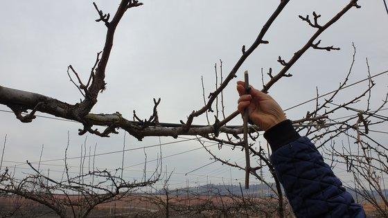 나뭇가지를 살짝 누르니 힘없이 부러졌다. 영암=김민중 기자