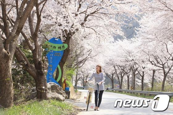 마이산은 전국에서 가장 벚꽃이 늦게 피는 곳이다. 남부진입로에 있는 이산묘에서 탑사까지 2.5km의 벚꽃터널이 핑크빛 장관을 이루고 있다. 한 관광객이 자전거를 타고 꽃 터널을 지나고 있다. /뉴스1