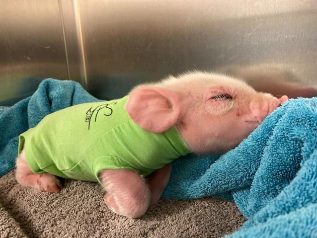 티셔츠를 입은 채 휴식을 취하고 있는 새끼 돼지. 동물병원 측은 돼지가 강풍에 날아온 것으로 추측하고 있다.