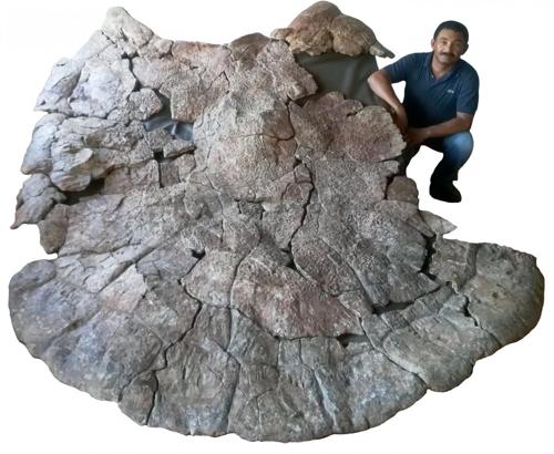 베네수엘라 우루마코 지역에서 발굴된 스투펜데미스 화석 수컷 화석으로 양쪽 어깨 부분이 창처럼 뿔이 나와있다. [Jorge Carrillo 제공]