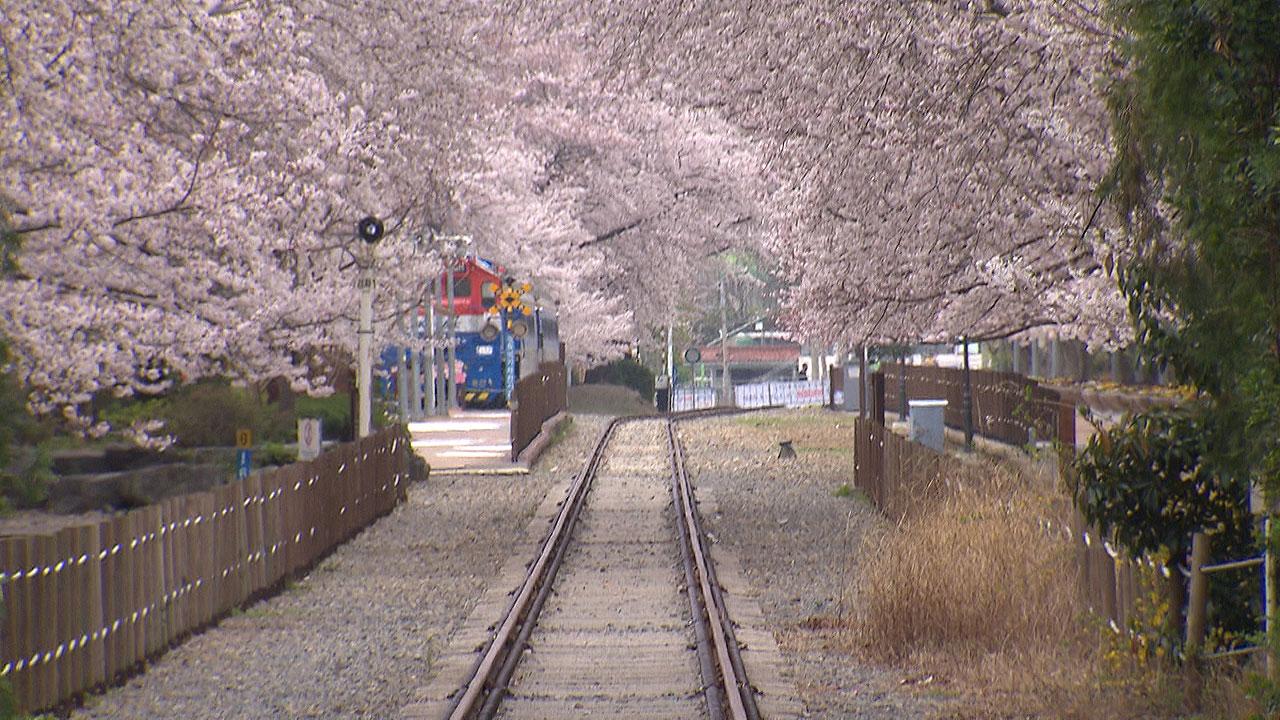 진해 벚꽃 명소 폐쇄 조치로 한산..대구 도심은 조금씩 붐벼[썬 토토|잠수함 토토]