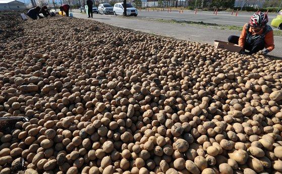지난 13일 오후 강원 춘천시 우두동에서 시민들이 한 농가가 내다놓은 감자를 주워가고 있다. 연합뉴스
