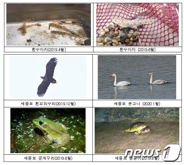 환경부는 세종보 완전 개방 후 흰수마자, 맹꽁이, 흰꼬리수리 등 멸종위기종 서식을 확인했다. (환경부 제공) © 뉴스1