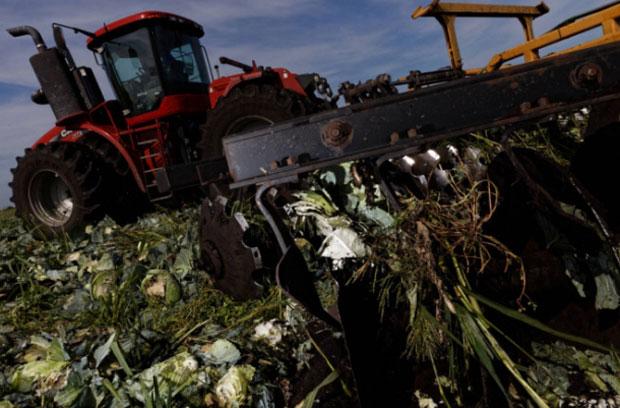 코로나19 여파로 출하 시기를 놓친 양배추를 갈아엎고 있는 농부./사진=폴리티코 캡쳐