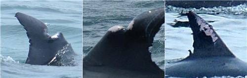 남방큰돌고래 지느러미에 난 상처들 [연합뉴스 자료사진]