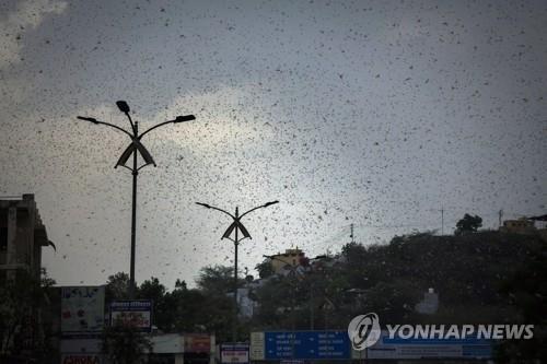 5월 10일 인도 서부 라자스탄의 아지메르 지역 상공을 뒤덮은 메뚜기떼. [AP=연합뉴스]