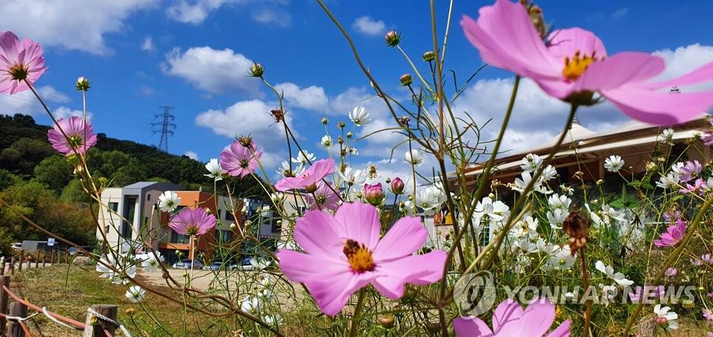 파란 가을 하늘, 분홍 코스모스