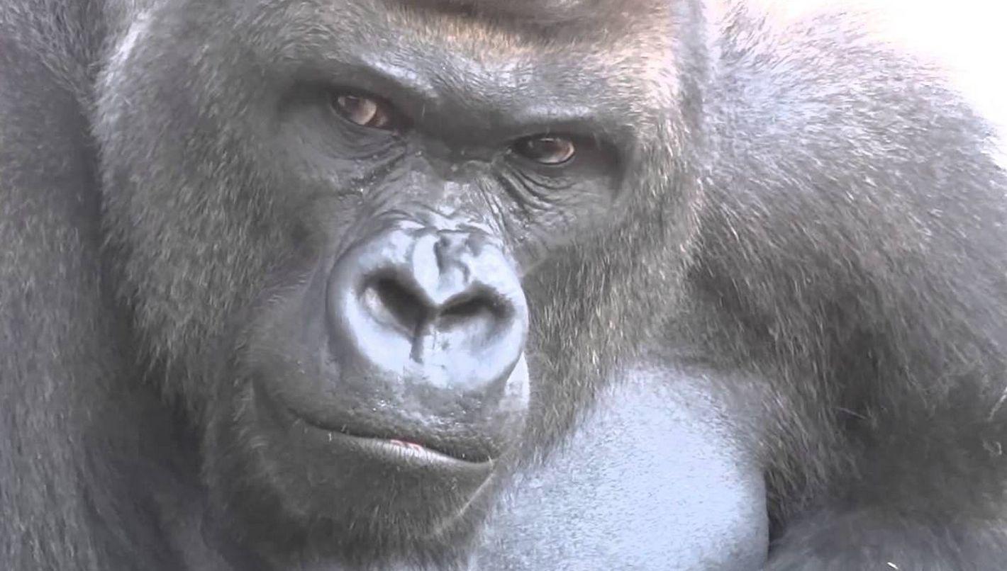 일본 동물원의 잘생긴 고릴라 | 1boon