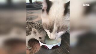 고양이와 고슴도치 먹방 겸상 Cat and Porcupine Food Mukbang Eating Show