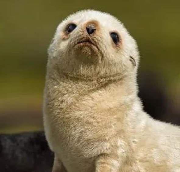 남극 아기 물개