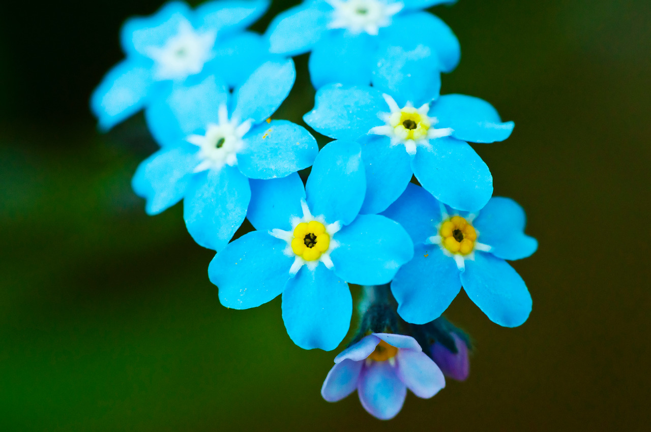 forget-me-not-flower-meaning