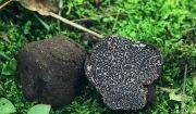 검은 송로버섯(<i>Tuber melanosporum</i>)
