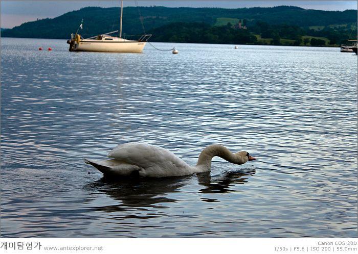 윈더미어 (Windermere) 호수 위를 여유롭게 떠다니는 백조