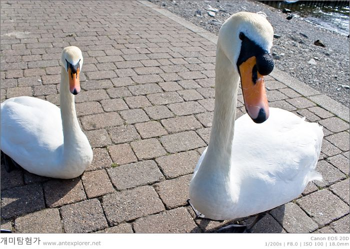 Swans of the Windermere Lake